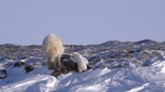 Pair of polar bear cubs climbing an arctic hillside with their mother. - stock footage