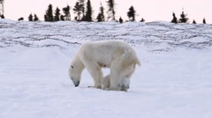 Polar bear cub sitting with its mother in the arctic. - stock footage