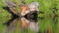 Big snag and its reflection in the pond Stock Footage