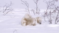 A pair of polar bear cubs curled up with their mother in the arctic. Stock Footage
