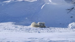 Two polar bear cubs sitting with their mother play fighting in the arctic . - stock footage