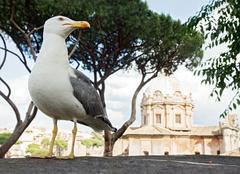 Stock Photo of gull on the outlook above historical center of Rome
