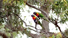 Colorful Rainbow Lorikeet birds perch on branch of tree in the wind Stock Footage