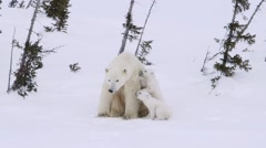 Pair of polar bear cubs sitting with their mother in an arctic landscape. - stock footage