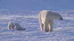 A pair of polar bear cubs sitting with their mother in an arctic landscape. - stock footage