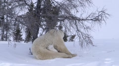 Pair of polar bear cubs curled up with their mother trying to sleep. - stock footage