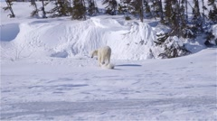 Polar bear cub playfully walking with mother. Stock Footage