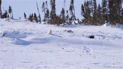 Pair of polar bear cubs playing on a Arctic hillside. Stock Footage