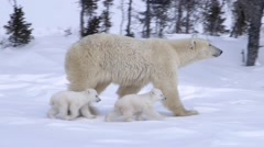 Pair of polar bear cubs walking with their mother. - stock footage