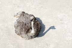 Ostrich lying on the sand Stock Photos