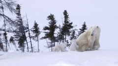 Pair of polar bear cubs walking to their mother. - stock footage