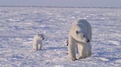 Stock Video Footage of Polar Bear Cubs Walking with Mother v.4-1