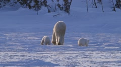 A pair of polar bear cubs walking in the arctic with their mother. - stock footage