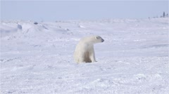 Polar bear observing its surroundings. Stock Footage