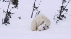 Pair of polar bear cubs attempting to nurse. One cub is having difficulty Stock Footage