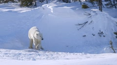 Polar bear standing in an arctic landscape. Stock Footage