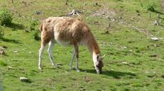 Lama guanaco grazing on meadow, 4k Stock Footage