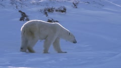A polar bear walking through a hilly arctic landscape with her cubs. - stock footage