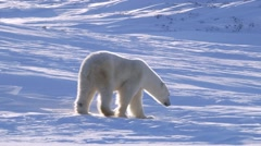 A polar bear walking through a hilly arctic landscape with her cubs. Stock Footage