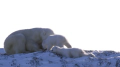 Polar Bear with her cubs sitting on top of a hill in the arctic. - stock footage