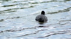 Black duck (Eurasian coot) pecking and diving for food on a lake Stock Footage