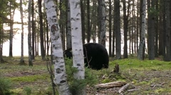 A black bear walking though a clearing in the forest. Stock Footage