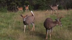 A buck looks and trots towards the camera as many other deer graze. Stock Footage