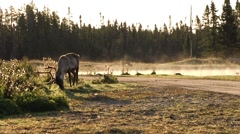 Quebec, Caribou Grazing Near a Lake 2 - stock footage
