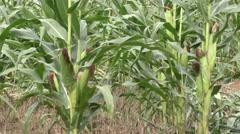Dry drought stricken farm corn field Stock Footage