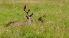 Male and female sika deer lying in the grass, 4k Stock Footage