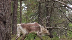 A caribou walks though a forest and past the camera. - stock footage