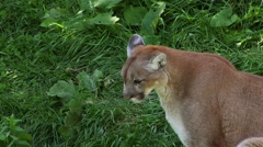 Cougar sitting in shaded area on grass. - stock footage