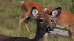 A doe stares towards the camera then ducks down to continue grazing. Stock Footage