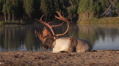 An elk with large antlers lies on the shore of a lake while eating. Stock Footage