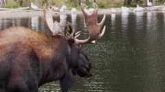 A moose stands in front of a lake with ducks on the opposite shore. Stock Footage