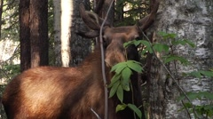 A moose hides behind a sapling as it looks curiously towards the camera. - stock footage