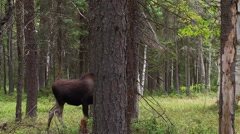 A moose creeps though the forest slowly. - stock footage