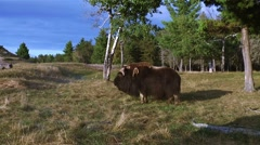 A close up of a musk ox chewing grass before turning towards the camera. Stock Footage