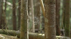 Spider web in a Quebec forest. - stock footage