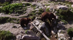 Two grizzly bears walking on a rocky hillside by a small stream. - stock footage
