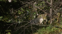 A wolf looks into and away from the camera twice while lying in the shade of a Stock Footage