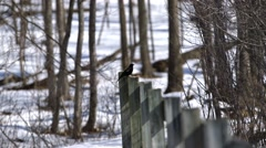 Red Wing Black Bird perched upon a fence. - stock footage