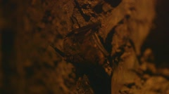 Pair of restless bats perched on a cave wall. Stock Footage