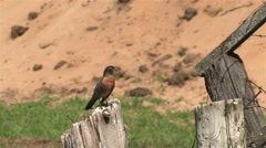 Robin perched on a wooden post in a field with a worm in its mouth. Stock Footage
