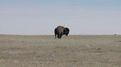 Saskatchewan, Val Marie, Buffalo grazing in the prairies - stock footage