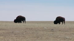 Saskatchewan, Val Marie, Two Buffalo grazing in the prairies - stock footage