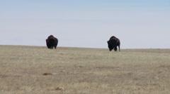 Saskatchewan, Val Marie, Two Buffalo walking toward the Horizon - stock footage