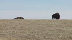 Saskatchewan, Val Marie, Two Buffalo in the parries - stock footage