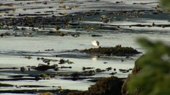 Seagull on the shore of the Johnstone Strait, British Columbia. Stock Footage