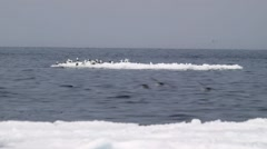 Seagulls perched on a piece of sea ice. Stock Footage